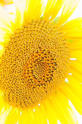 Sunflower close up - p429m884523f by Chris Whitehead