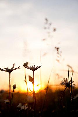Margeritenblüten im Sonnenuntergang - p533m1474767 von Böhm Monika