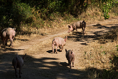 Pigs on a dirt road - p628m1476210 by Franco Cozzo