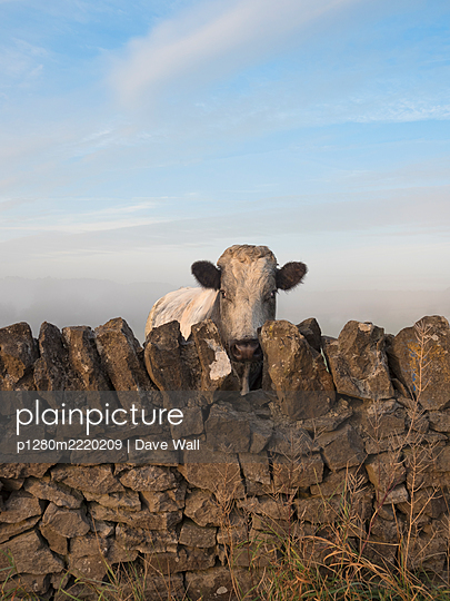 Cow looking over drystone wall, Great Britain - p1280m2220209 by Dave Wall