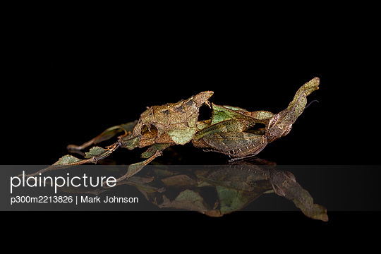 Ghost Mantis, Phyllocrania paradoxa, with reflection on black ground - p300m2213826 by Mark Johnson