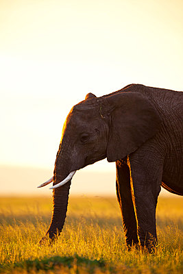 African elephant at sundown - p533m1120358 by Böhm Monika
