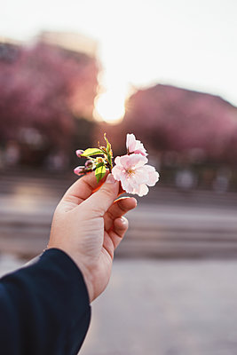 Cherry Blossom - p1507m2082881 by Emma Grann