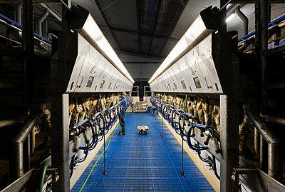 Farmer operating modern milking machine in early morning, Wyns, Friesland, Netherlands - p429m2069154 by Mischa Keijser
