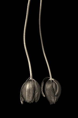 Two tulips - p977m1137393 by Sandrine Pic