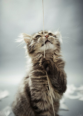Junge Sibirische Katze - p299m925309 von Silke Heyer