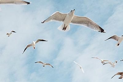 Seagulls in flight - p4380064 by Laura Petermann