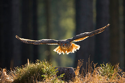Eurasian Eagle-Owl flying through forest, Czech Republic - p884m1136520 by John Gooday/ NIS