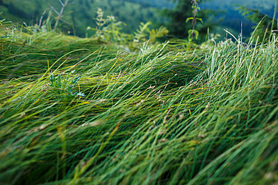 mountain green grasses are sloped by wind and rain - p1166m2129672 by Cavan Images