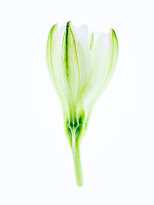 Inca lilies bud - p401m2291090 by Frank Baquet