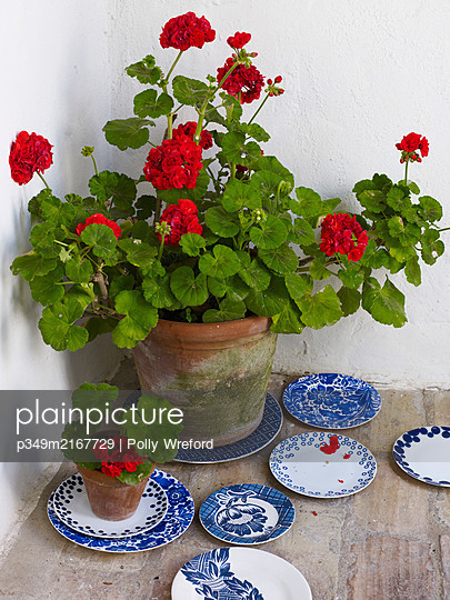 Flowering Geranium with blue and white plates, Spain - p349m2167729 by Polly Wreford