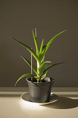 Aloe Vera - p1149m1051115 by Yvonne Röder