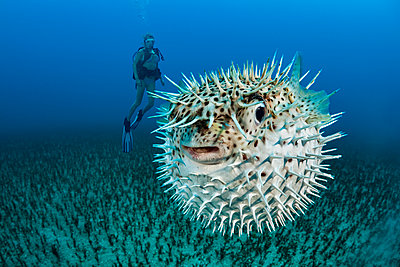 Diver and a Spotted porcupinefish (Diodon hystrix); Hawaii, United States of America - p442m2003578 by Dave Fleetham