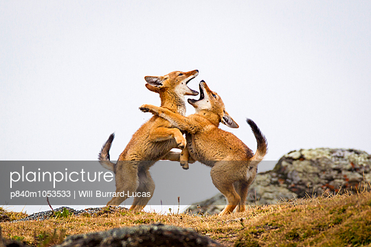 Ethiopian Wolf  pups play fighting, Bale Mountains National Park, Ethiopia. - p840m1053533 by Will Burrard-Lucas