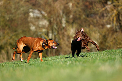 Rhodesian Ridgeback and brown Labrador Retriever, Canis lupus familiaris, playfighting on a meadow - p300m950122f by Silke Klewitz-Seemann