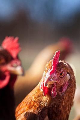 Hühner - p739m776884 von Baertels