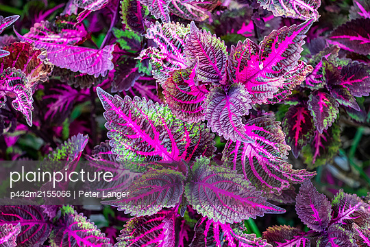 Common coleus; Tomohon, North Sulawesi, Indonesia - p442m2155066 by Peter Langer