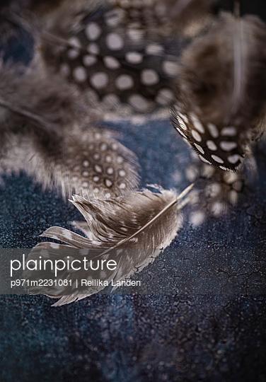Quineafowl feathers - p971m2231081 by Reilika Landen