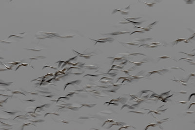 Large flock of Snow Geese flying together - p1480m2148254 by Brian W. Downs