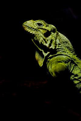 Iguana - p1028m2245673 von Jean Marmeisse