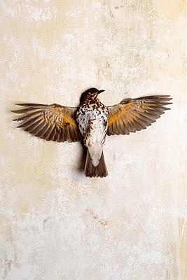 Toter Vogel - p451m1214873 von Anja Weber-Decker