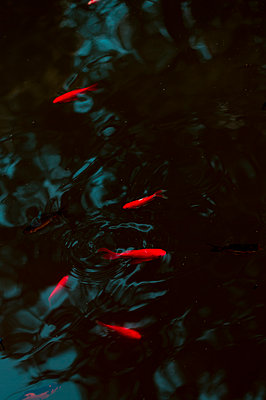Shoal of goldfish in the pond - p947m2196637 by Cristopher Civitillo