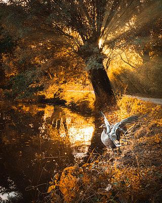 Deutschland, Gans vor Sonnenuntergang im Herbst - p1549m2222979 von Sam Green