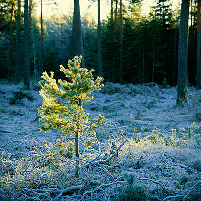View of coniferous forest covered with snow - p5755921f by Stefan Ortenblad