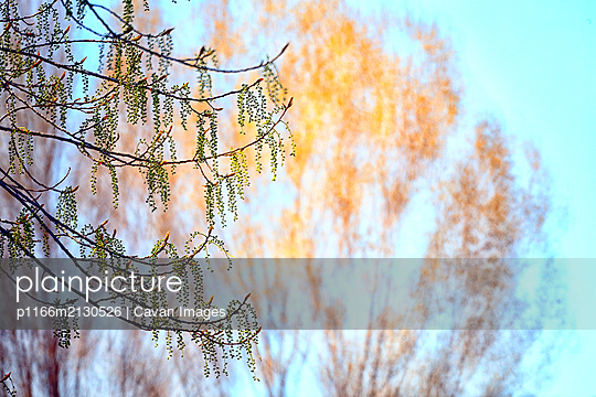 Male and female catkins of a poplar. Populus sp - p1166m2130526 by Cavan Images