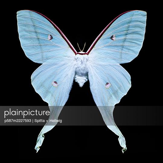 Blue butterfly - p587m2227593 by Spitta + Hellwig