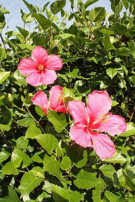 Hibiskusblüten - p0452610 von Jasmin Sander
