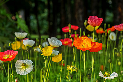 Poppies on a meadow - p300m1487446 by pure passion photography