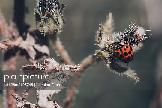 Ladybird on flower - p1628m2195748 by Lorraine Fitch