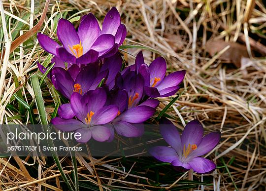 Purple flowers on grass close-up
