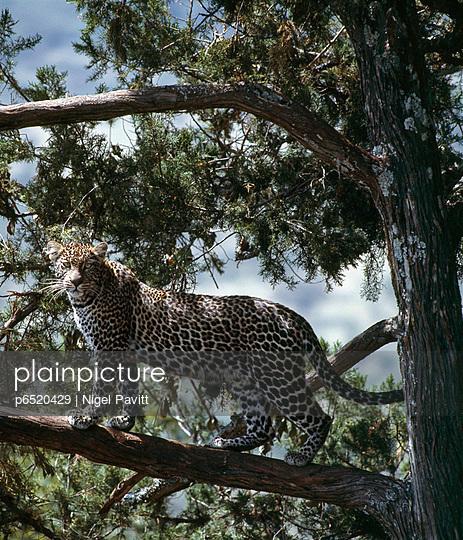 Leopard - p6520429 by Nigel Pavitt