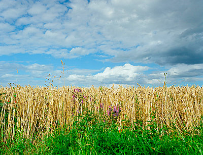 Wheat field, Saint-Maclou - p1132m1020471 by Mischa Keijser