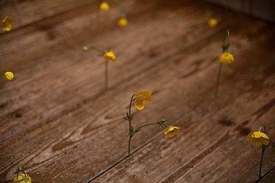 buttercups standing in floorboard gaps macro abstract - p1166m2129821 by Cavan Images