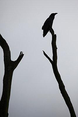 Crow - p1790820 by Roland Schneider