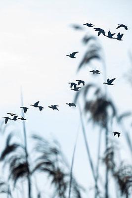 Gruppe Wildgänse im Flug - p739m1128971 von Baertels