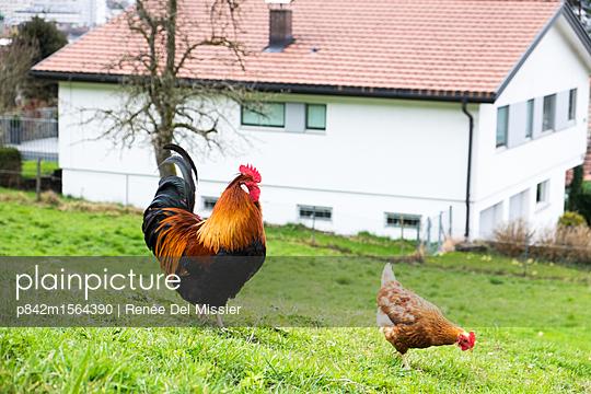 Hühner - p842m1564390 von Renée Del Missier