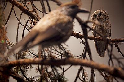 Eule im Museum - p606m1462363 von Iris Friedrich