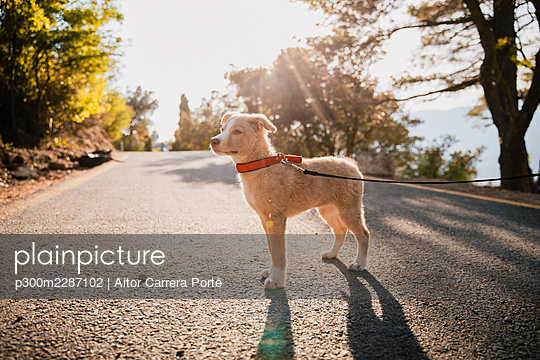 Dog with pet collar and leash standing on road - p300m2287102 by Aitor Carrera Porté