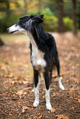 Saluki dog - p1152m966132 by Susan Fox