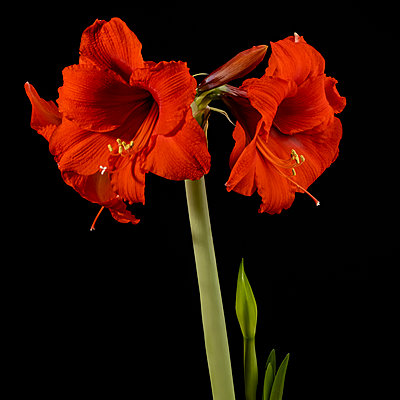 Red amaryllis flowers - p1427m2163704 by Tetra Images