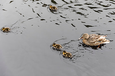 UK, Scotland, Highland, Glencoe, mallard with ducklings on Glencoe Lochan lake - p300m1537530 by Fotofeeling