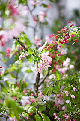 Pink spring blossom in a green house - p349m2167881 by Sussie Bell