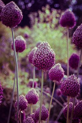 Purple wildflower meadow - p1199m2143108 by Claudia Jestremski
