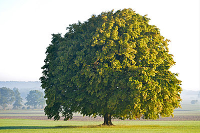 Germany, Upper Bavaria, Landsberied, Linden tree in morning sun - p300m1188983 by Gerald Nowak