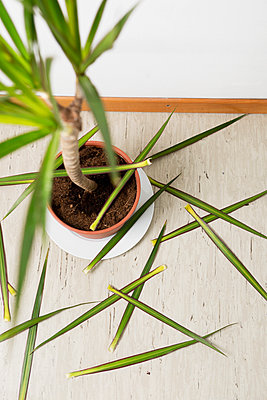 Houseplant losing leaves - p1149m1109245 by Yvonne Röder