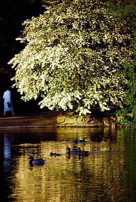 Dublin - Parks, Saint Stephen's Green, Ireland - p4425217f by Design Pics